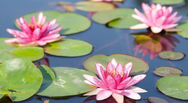 lirios-dagua-entre-as-flores-mais-bonitas-do-mundo